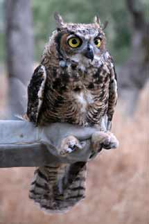 (Photo - Great Horned Owlet)