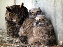 (Photo - Owls)
