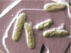 (Photo - Bacteria)