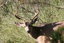 (Photo - deer)