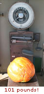 (Photo - Pumpkin on scales)