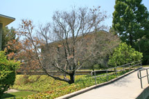 (Photo - Oak tree)