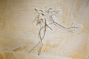 (Photo - archeopteryx)