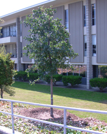 (Photo - new Valley Oak tree outside building 40)