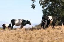 (Photo - cows)