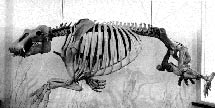 (Photo - Paleoparadoxia fossil)
