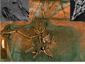 (Photo - Scan of Archaeopteryx Fossil)