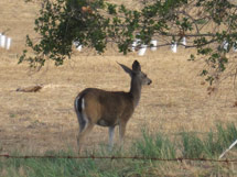 (Photo - doe by Sand Hill Road)
