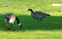 (Photo - two Canada geese)