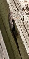 (Photo - lizard)